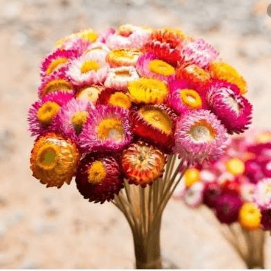 Hoa cúc bất tử khô
