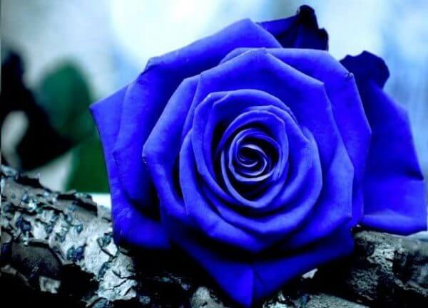 Những dịp nào tặng hoa hồng xanh? Ý nghĩa hoa hồng xanh