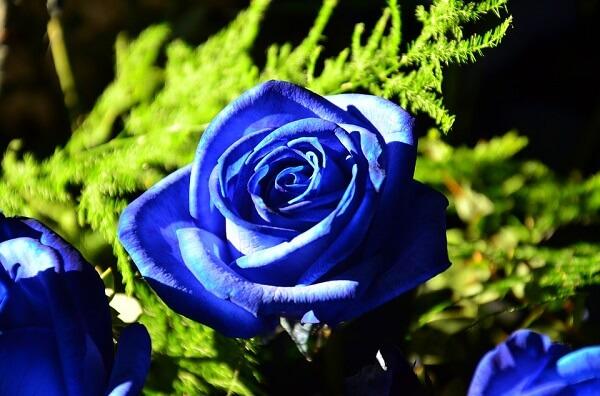 Trong tình yêu hoa hồng xanh tượng trưng cho tình yêu bất diệt