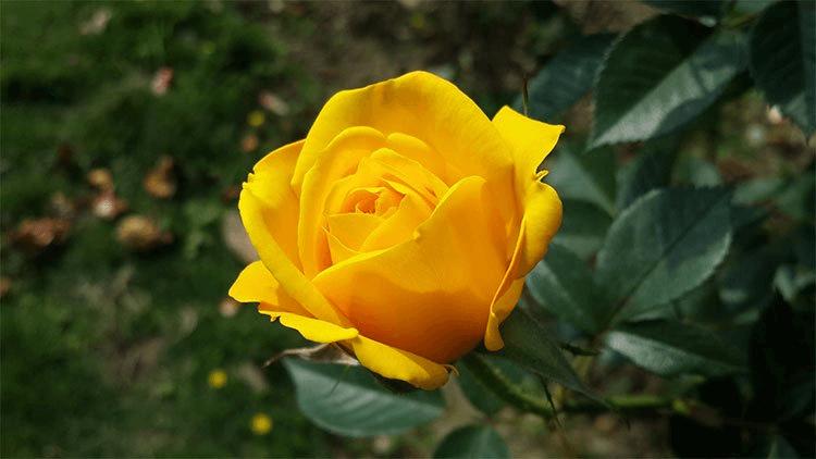 Màu vàng của hoa hồng như ánh nắng ban mai dịu êm