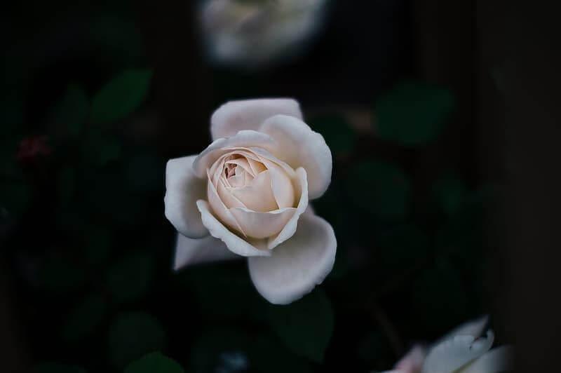 Hoa hồng được dùng trong công nghiệp mỹ phẩm