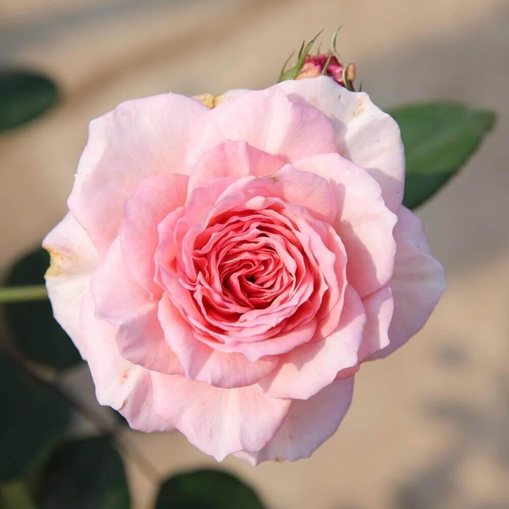 Tên hoa hồng tiếng anh là gì? Công dụng của hoa hồng