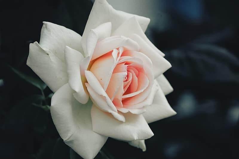 Hoa hồng có nhiều loại khác nhau