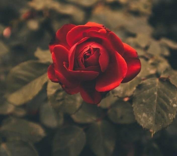 Hoa hồng đỏ mang ý nghĩa của một tình yêu mãnh liệt