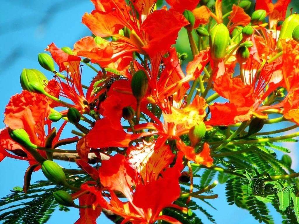 Hoa phượng tiếng anh là gì? Ý nghĩa của hoa phượng