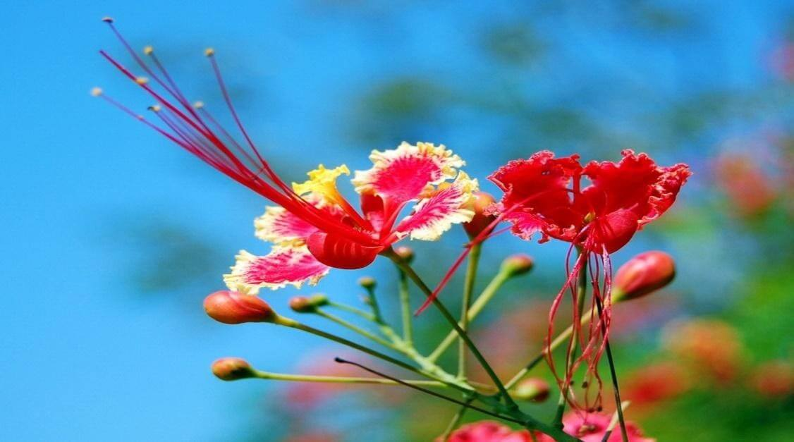Đặc điểm hoa phượng