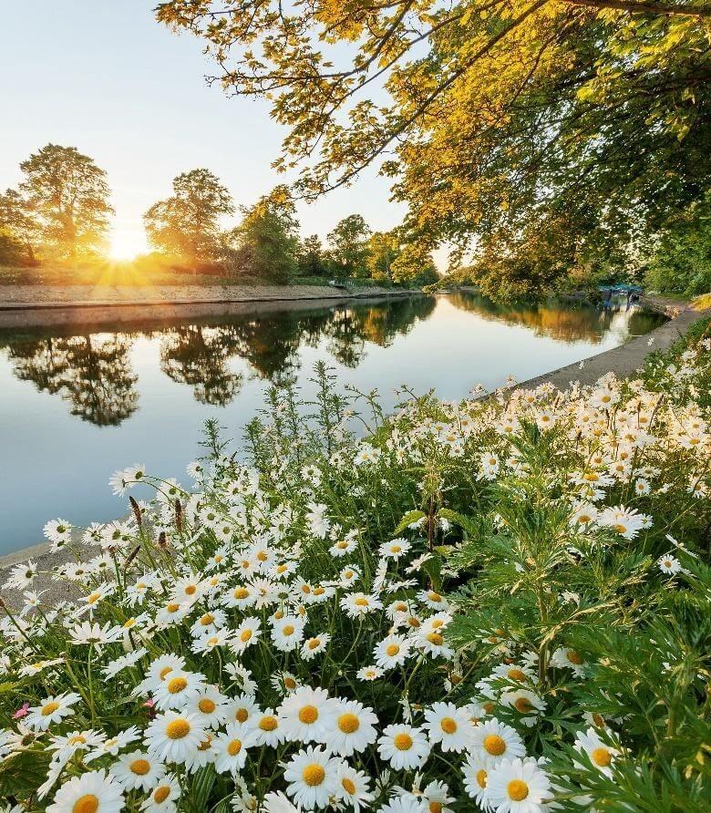 Ý nghĩa hoa cúc trắng và cách trồng giống hoa này