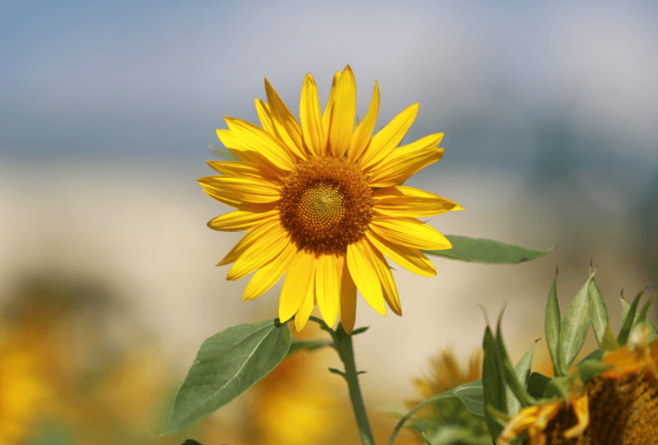 Ý nghĩa hoa hướng dương, loài hoa hướng về phía ánh mặt trời